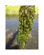 Doorgroeid Fonteinkruid (Potamogeton perfoliatus)