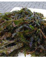 Gekroesd Fonteinkruid (Potamogeton crispus)