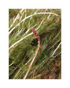 Inheems Aarvederkruid (Myriophyllum spicatum)
