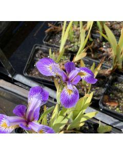 Iris pseudacorus Holdens Child