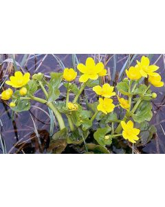 Dotterbloem (Caltha palustris)