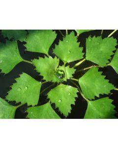 Waternoot (Trapa natans)