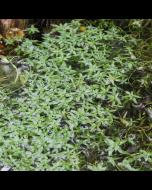 Sterrenkroos (Callitriche platycarpa)