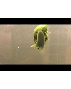 Anti-algen pakket 2