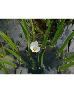 Krabbenscheer (Stratiotes aloides) watersoldaatje