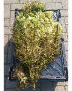 Waterviolier (Hottonia palustris) per 5 bossen